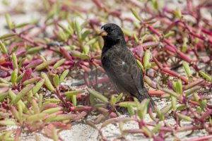 Finch and succulent plants on the beach on Isabella Island.