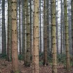 Columnar pines in Nant Mill Wood
