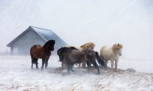 Icelandic horses trying to stay warm in a storm